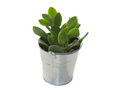 crassula: Potted crassula plant on white background
