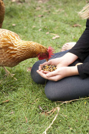 pecks: a hen pecks at feed held in the hands of a young girl Stock Photo