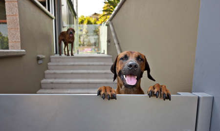 happy dog smiles a greeting over the gate Stock Photo