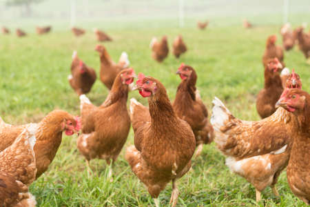 ranging: happy hens free ranging on an organic farm in the sunshine