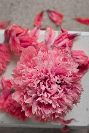 pom pom: pretty pom pom pink peony poppy flower
