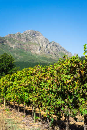 dramatic vineyards as seen in Stellenbosch, South Africa photo