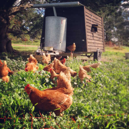Free range hens in the sun Stock Photo