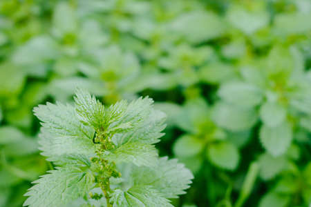 stinging: stinging nettles, growing as a herb, stinging nettles are amazing as a replacement for basil or spinach Stock Photo