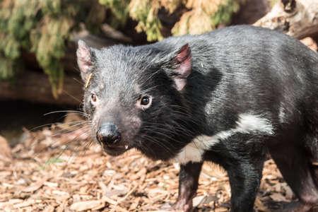 tasmanian: endangered tasmanian devil