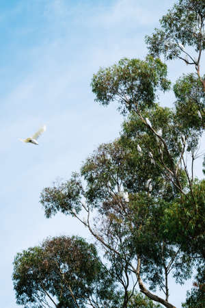 cockatoos: cockatoos high in a tree