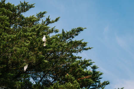 cockatoos: cockatoos high in a pine tree