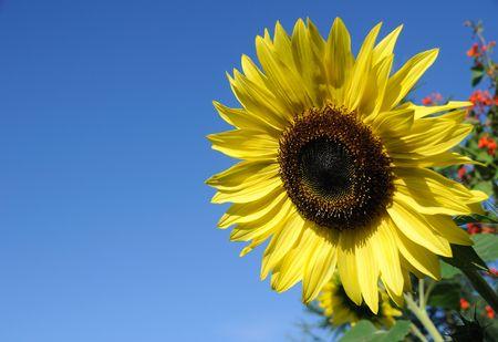 stamin: Beautiful Sunflower against a Blue Sky