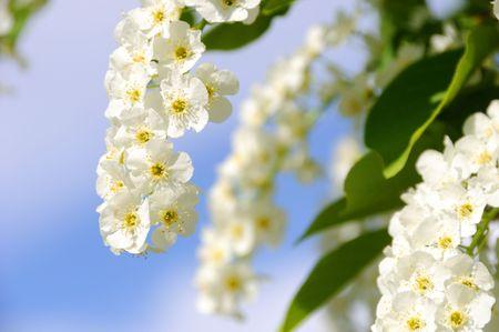 choke: Choke Cherry in Bloom