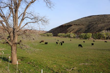 ranching: Cattle Grazing in a field on the Shivwits Paiute Indian Reservation