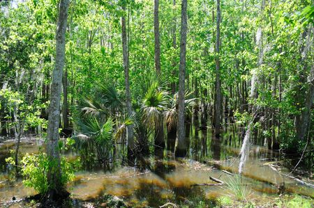 submerge: Cypress and Tupelo Standing in Water in Florida Marsh Land