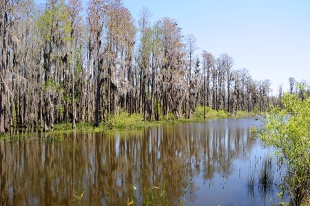 Cypress Trees Standing on Edge of Florida Pond and Marsh Land  photo