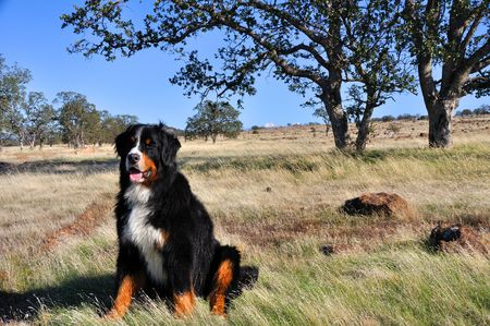 chaparral: Bernese Mountain Dog in California Chaparral