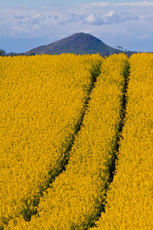 Oil seed rape and hill Stock Photo - 7309744