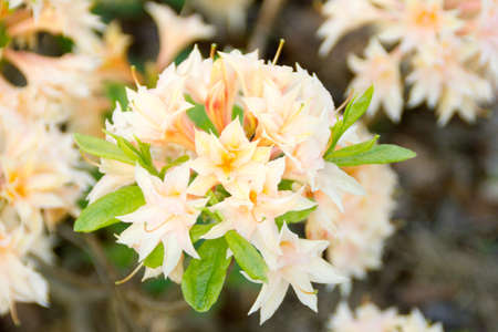 phytology: Beautiful azalea