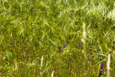 Closeup of field with some blue flowers photo