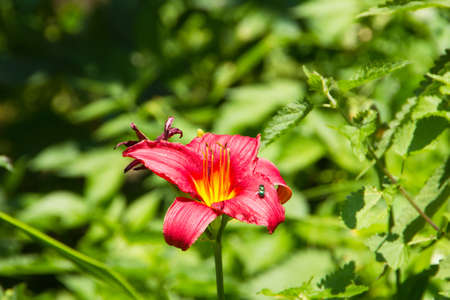 phytology: Beautiful red daylily with green fly