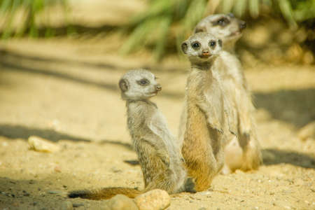Group of three cute meerkats photo