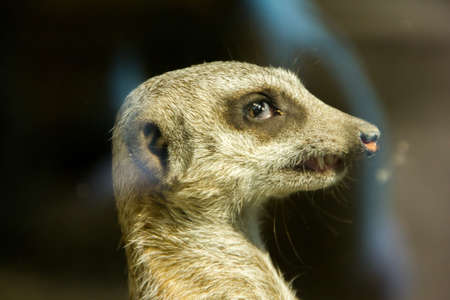 Close-up of meerkats face looking at something photo