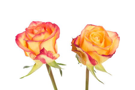 Two red orange roses isolated on white background photo