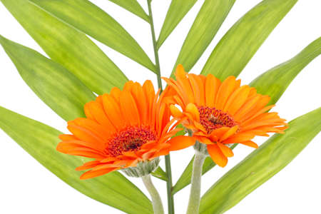 Two orange gerberas with green leaf in the background photo