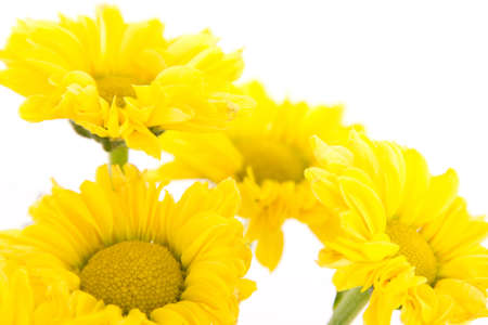 Four yellow chrysanthemums on white background photo