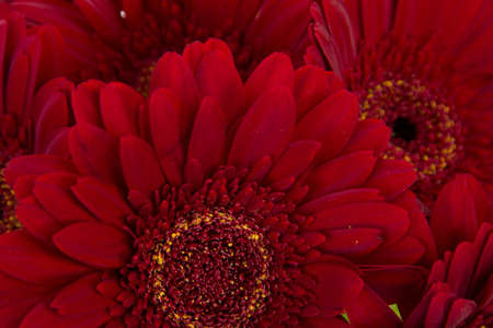 Close-up of five beautiful red gerberas photo
