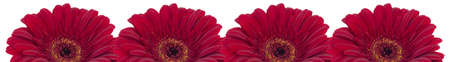Four beautiful red gerberas on white background photo