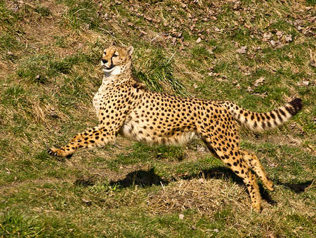 Cheetah on the hunt photo