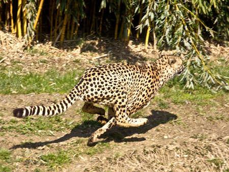 guepardo: Guepardo en la carrera Foto de archivo