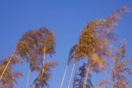 Common reeds on windy day photo