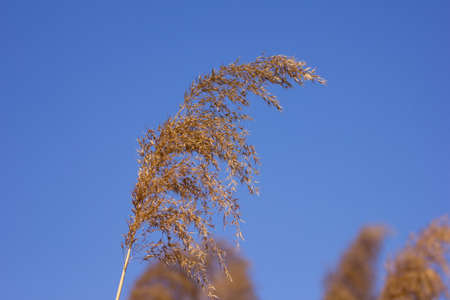 Phragmites on blue sky photo