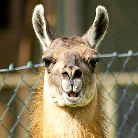 nosy: Llama looking nosy Stock Photo