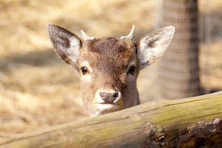 fawn: Roe deer fawn Stock Photo