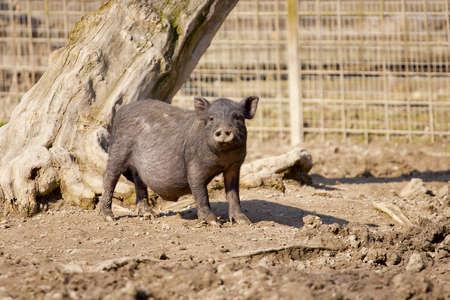 Young wild boar looking nosy
