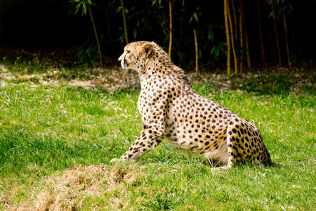 felid: Cheetah on the lookout