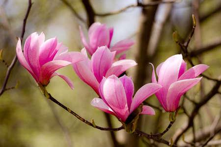 Closeup of magnolia buds
