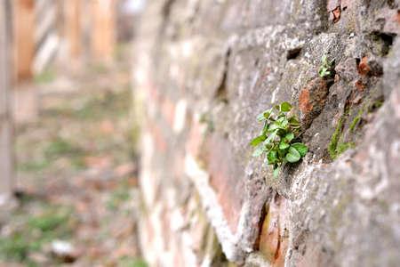Grenn Leafs on ruined old Brick Wall photo