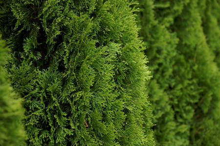hedge: Hedge of Thuja Trees