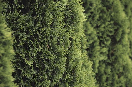 hedging: Hedge of Thuja Trees