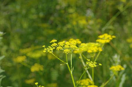 finocchio: Blooming fennel seeds growing in the garden. Archivio Fotografico