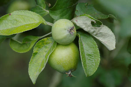 immature: Apple tree branch with immature fruits.