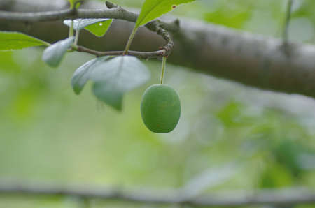Plum branch with immature fruit. Stock Photo