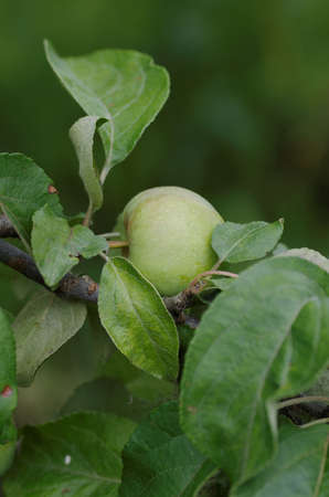 immature: Apple tree branch with immature fruit. Stock Photo