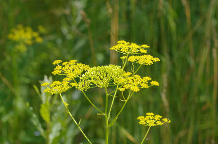 fennel seeds: Blooming fennel seeds growing in the garden. Stock Photo