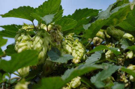 frash: hop flower