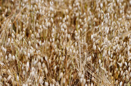 eating area: Field of oats