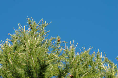 A larch tree. Clear sky visible on the background.