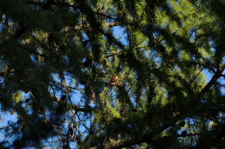 shady: A larch tree with foliage and cones. Photo taken on shady side. Stock Photo