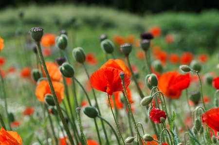 Common poppy buds, flowers and capsules
